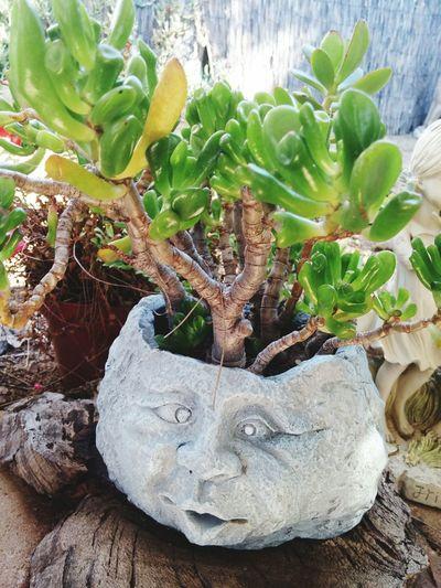 Plants Planter Face Green Leaves Wood Base Backyardphotography Eyemphotography