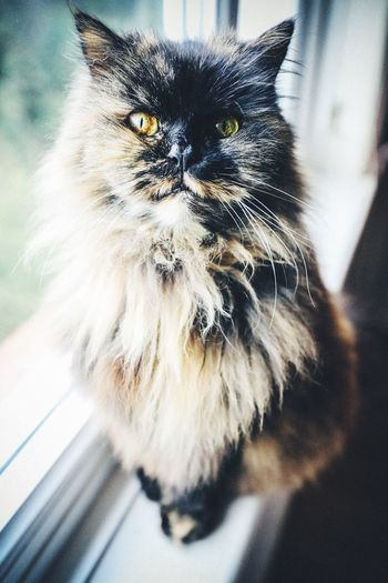 Pets Domestic Animals Domestic Cat Animal Themes One Animal Mammal Feline Whisker Persian Cat  Indoors  Close-up No People Day Portrait