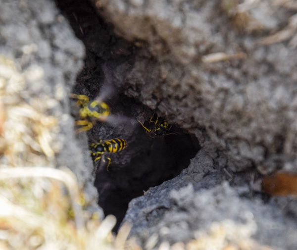 Vespula vulgaris. Destroyed hornet's nest. Drawn on the surface of a honeycomb hornet's nest. Larvae and pupae of wasps. vespula, vulgaris, wasp, mink, nest, fly, destroyed, gutted, killed, collapsed, dead, dismantled, pulled, larvae, pupae, death, excavated, sting, predator, forager, insect, striped, hymenoptera, animals, colony, insects, macro, nature, poisonous, summer, stinger, antenna, filigree, stinging, bee, hexagon, hornet, bug, wasps, chew, wing, fragility, common, pollen, laying, wood, paper, honey, arthropoda, vespiary Animal Themes Animal Wildlife Animals In The Wild Close-up Day Growth Insect Nature No People One Animal Outdoors Selective Focus Vespula Vespula, Vulgaris, Wasp, Mink, Nest, Fly, Destroyed, Gutted, Killed, Collapsed, Dead, Dismantled, Pulled, Larvae, Pupae, Death, Excavated, Sting, Predator, Forager, Insect, Striped, Hymenoptera, Animals, Colony, Insects, Macro, Nature, Poisonous, Summer,  Vulgaris Wasp