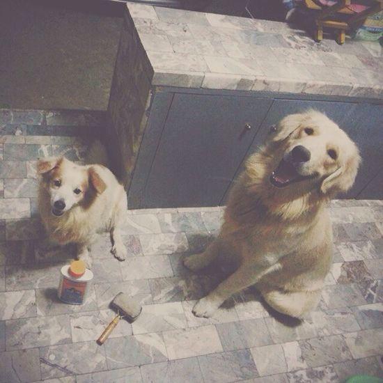 ปะแป้งก่อนนอน ฝันดีนะ ???? Dog Dogstagram Goldenretriever Pet13 vintage filmcamera lomography