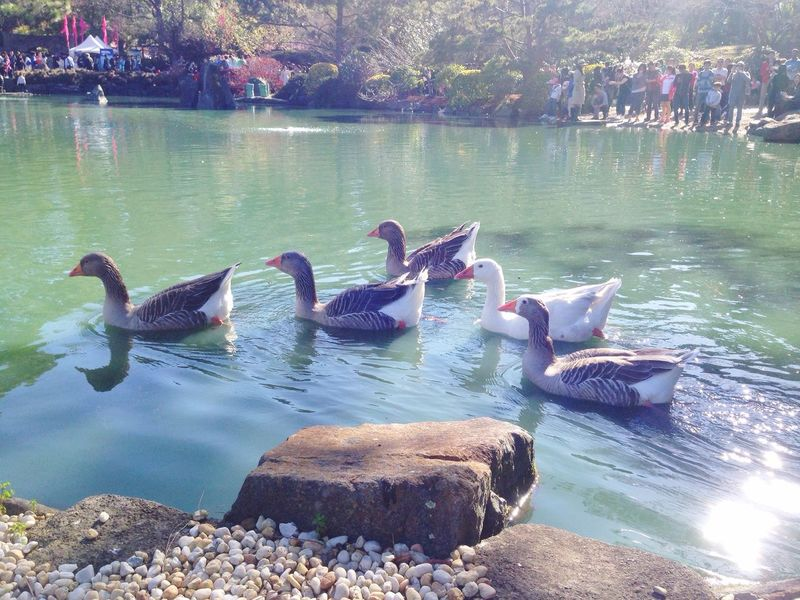 @Japanese Garden in Auburn,Sydney. Outdoors Nature Freshness Lake sSwandDayBBlack SwanbBeauty In NaturelLake View