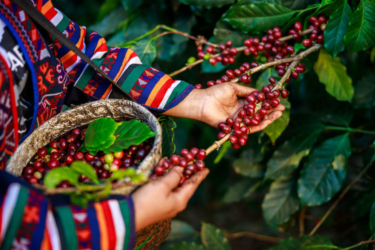 woman farmer picking raw coffee beans