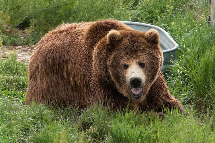 Animal Animal Themes Animal Wildlife Bear Grizzly Bear Mammal Nature No People One Animal