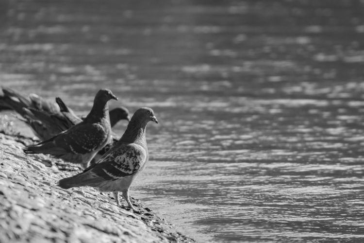 Pigeons Doves