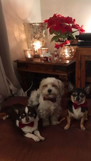 Merry Xmas Indoors  Dog Enjoying Life Looking At Camera Taking Photos Love my dogs❤️🎄🌟