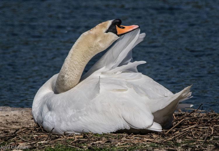 Swan preening Animal Themes Animal Wildlife Animals In The Wild Bird Lake Nature One Animal Swan Swan On A Nest Swan Preening Swans Water Bird White Color