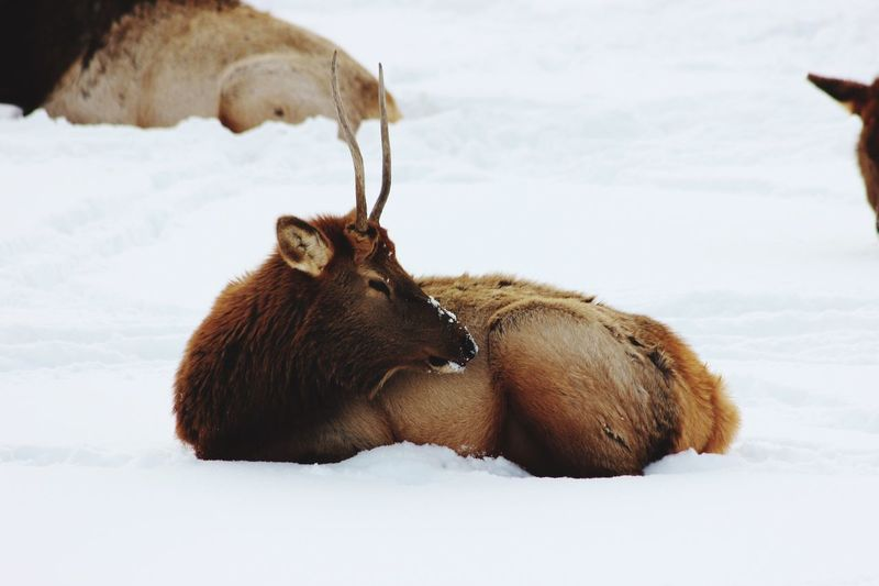 A young Male elk cowering peace fully away Winter Nature Animals In The Wild