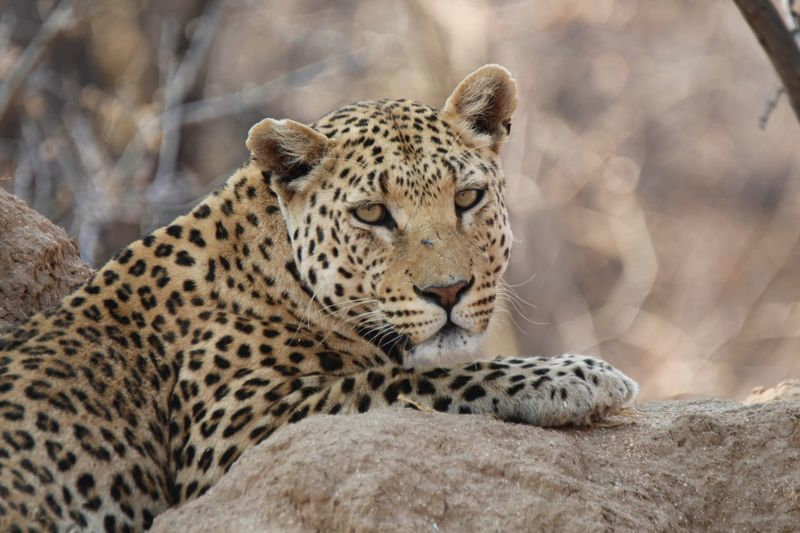 Leopard Feline African Beauty Travelling Africa African Wildlife Travel Experience African Animals African Safari Wild Animal Safari Animals Animal Portrait Animal Themes Animal Animals In The Wild Animal Wildlife Big Cat One Animal Leopard Animals In The Wild