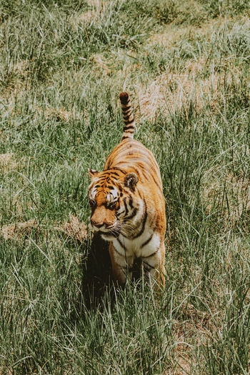 Tiger in a field