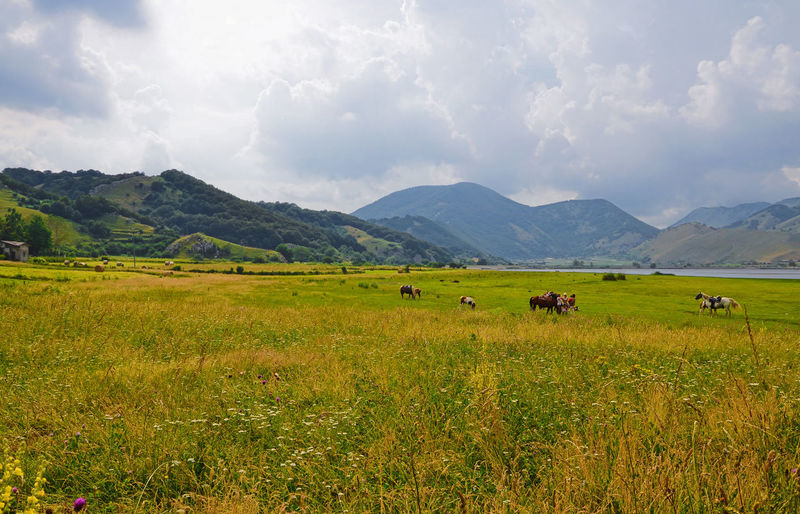 Scenic View Of Horses In Grassy Field