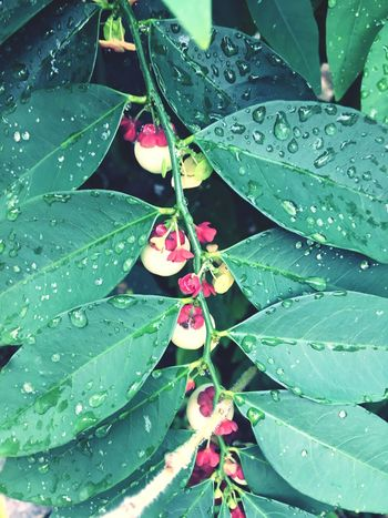 Plant Leaf Star Gooseberry Growth Nature Drop Freshness No People Green Color Day Fragility Flower Outdoors Close-up Flower Head Vegetable Beauty In Nature Water Red Flower White Fruit Foliation Leave Budding Budding Flower Leaf And Twig