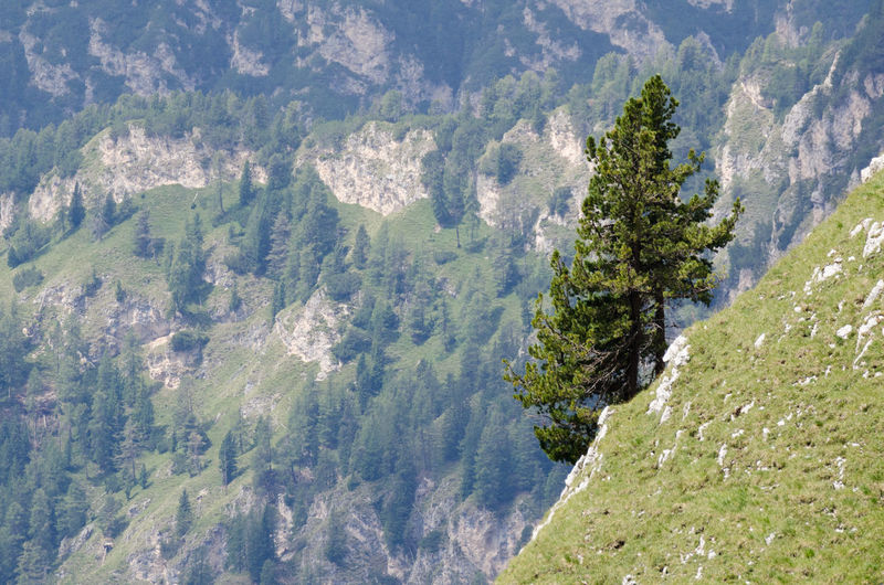 High angle view of pine trees on mountain