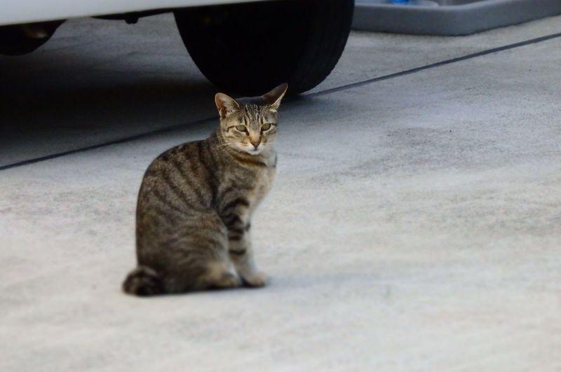 おとなりさん ねこ Cat Feline Domestic Cat Domestic Pets Domestic Animals Mammal