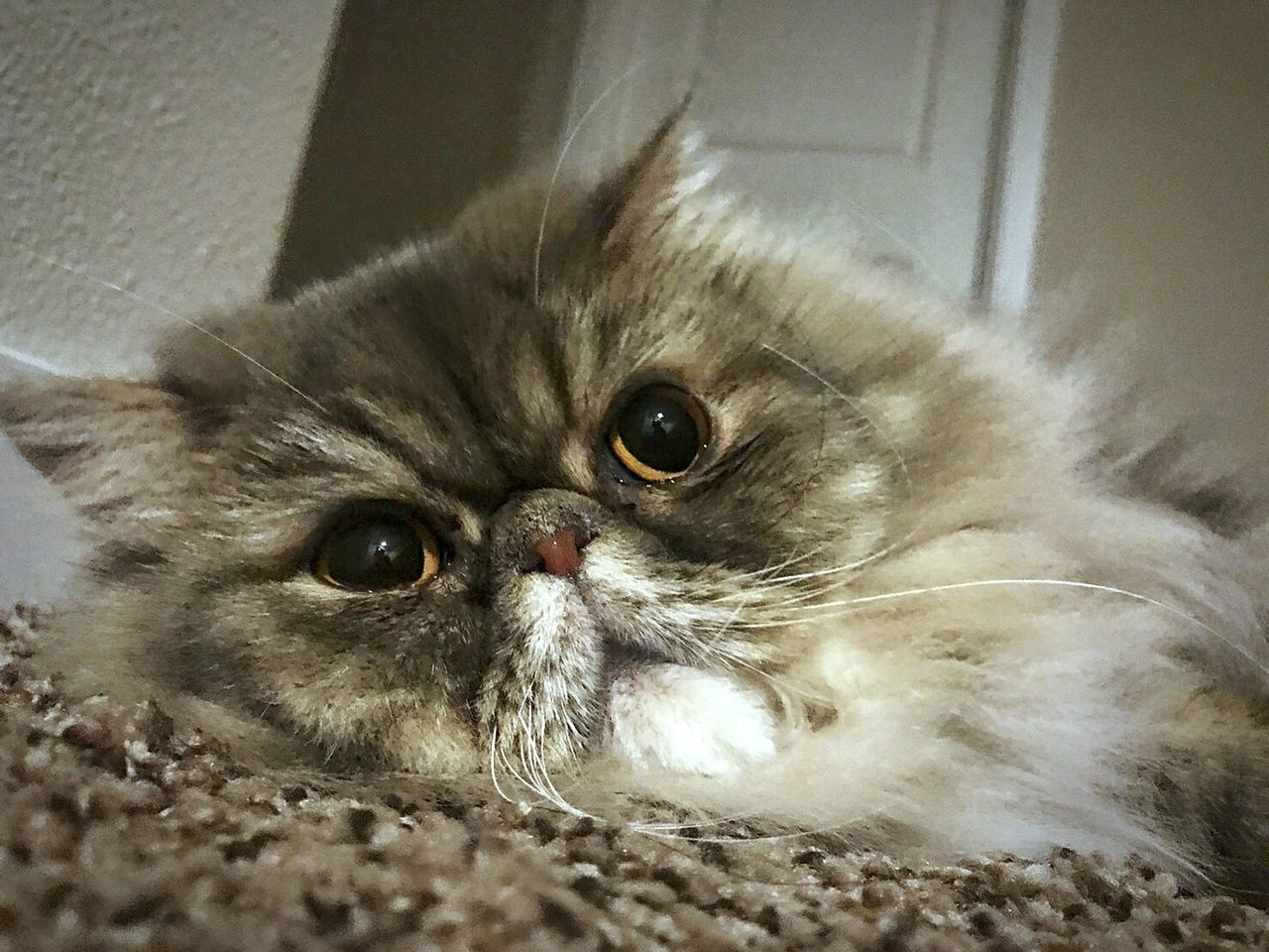 domestic cat, animal themes, pets, domestic animals, one animal, feline, whisker, mammal, looking at camera, indoors, portrait, lying down, persian cat, no people, close-up, day