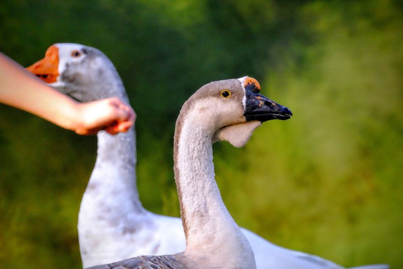 Cropped image of hand with geese