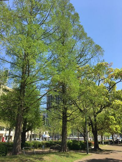 Subject : Some Tall Trees with Fresh Green Leaves against the Blue Sky. Beauty In Nature Nature Streetside Park Tree Branch Growth Tranquility Scenics Day sky blue colour Outdoors No People . Taken on April 19, 2017 ( Submitted on May 20 )