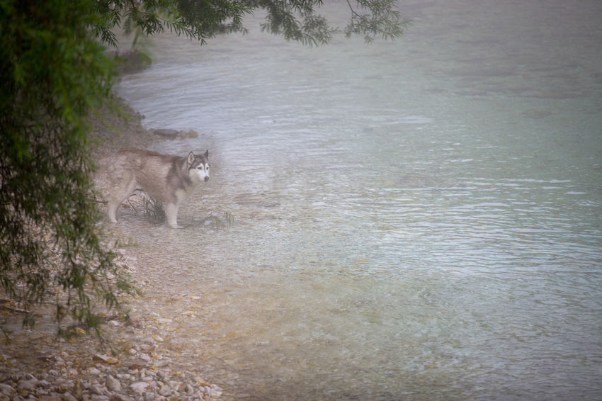 Animal One Animal Mammal Animal Themes Animals In The Wild Animal Wildlife Vertebrate No People Day Nature Water Domestic Animals Plant Pets Tree Outdoors High Angle View Wolf River Riverside Husky Dog Flowing Water Stones & Water