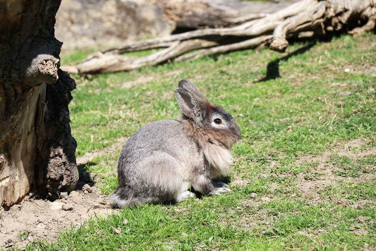 rabbit on green grass Animal Themes Animal Mammal Animals In The Wild Animal Wildlife One Animal Vertebrate Land Field Plant Grass Nature Day Focus On Foreground Rodent No People Tree Rabbit Sitting Sunlight Outdoors Herbivorous Bunny