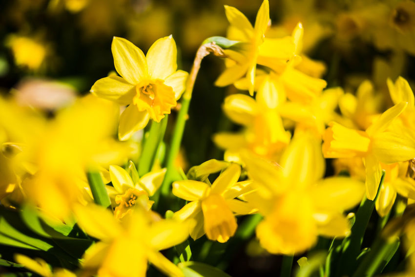 Helsinki A Large Group Of Objects Abundance Abundance Of Flowers Beauty In Nature Blooming Close-up Daffodil Day Flower Flower Head Fragility Freshness Growth Narcissus Nature No People Outdoors Petal Plant Selective Focus Spring Yellow