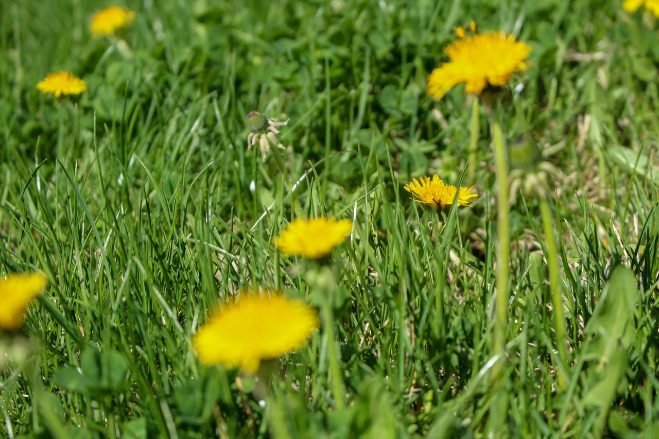 plant, flower, yellow, growth, flowering plant, fragility, beauty in nature, freshness, vulnerability, field, land, flower head, green color, petal, inflorescence, selective focus, nature, grass, close-up, no people, outdoors, springtime