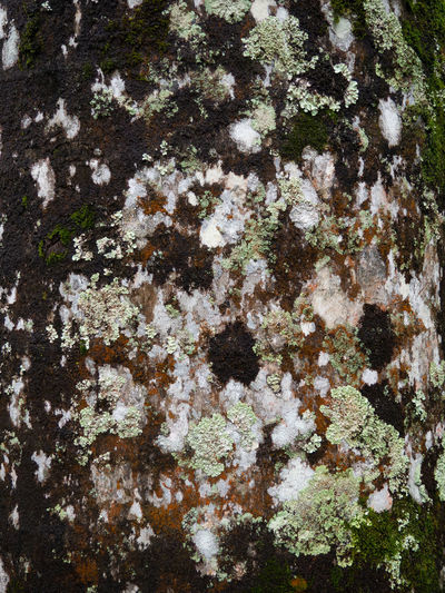 Full frame shot of lichen growing on tree
