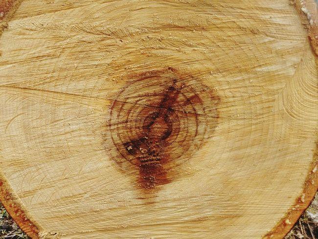 Araucaria Pinheiro Pine Tree Nature