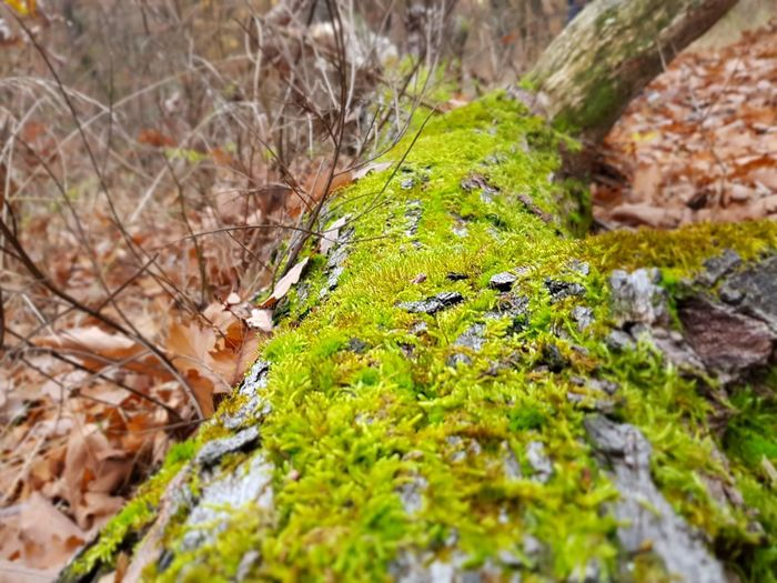 Wood Plant Moss Selective Focus Nature No People Growth Rock Tree Day Close-up Forest Rock - Object Solid Green Color Tree Trunk Trunk Land Beauty In Nature Fungus Tranquility Outdoors Lichen Surface Level
