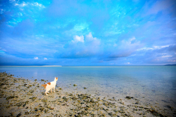 Cat walking at beach against cloudy sky