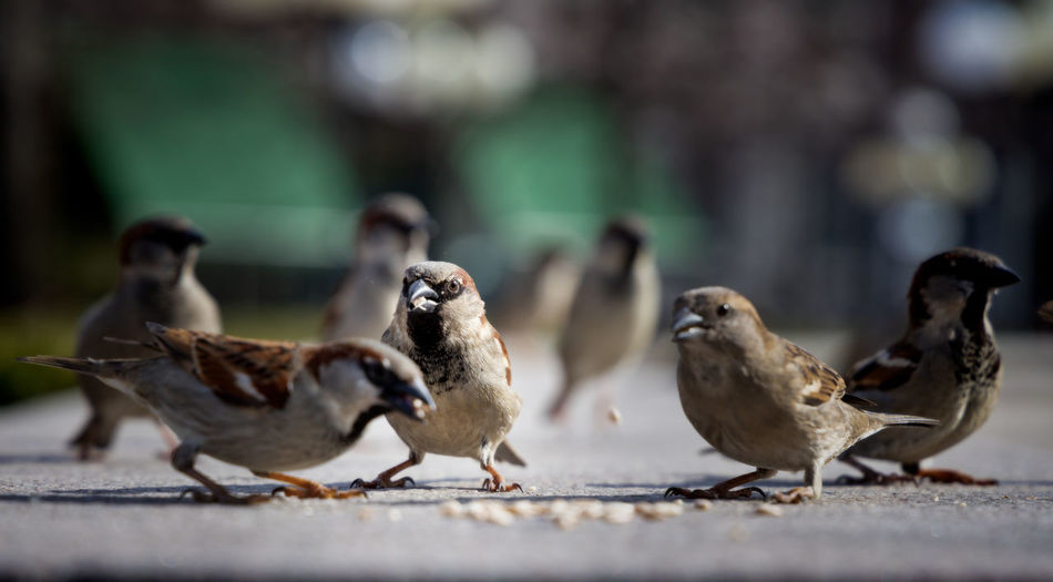 house sparrows Group Of Animals Animal Themes Animal Bird Vertebrate Animal Wildlife Animals In The Wild Day Focus On Foreground Selective Focus No People Sparrow Close-up Nature Outdoors Perching House Sparrow Urban Wildlife City Wildlife