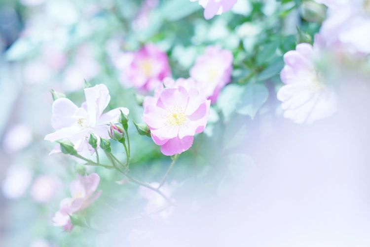 rose Xe2 Xf35mmf14 Rosé Pink Pink Color Blossom Petal Wild Rose Blooming Flowering Plant