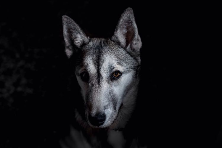 EyeEmNewHere Dog Pets One Animal Animal Themes Domestic Animals No People Black Background Looking At Camera Portrait Close-up Mammal Night Outdoors Wolf Husky Eye