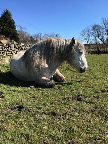 Vrackie Highland Pony Scotland