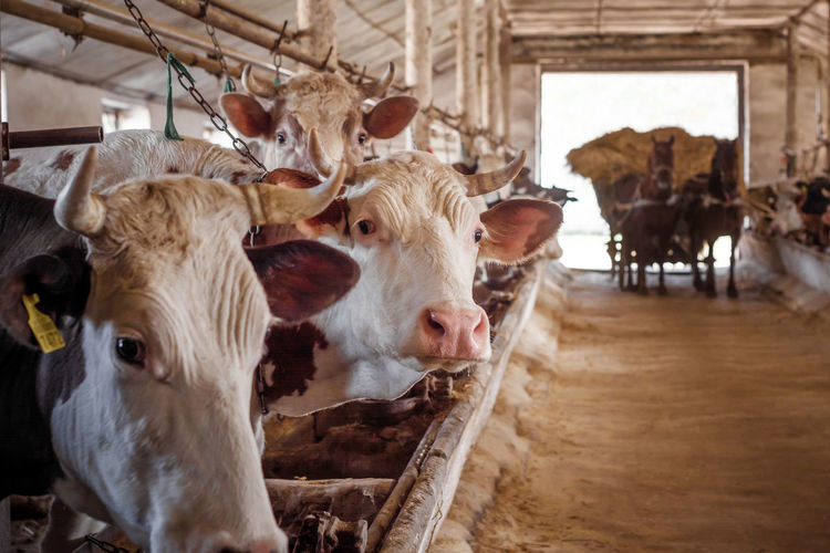 Portrait of cows in stable
