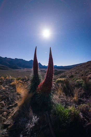 Cactus growing on field against sky at night