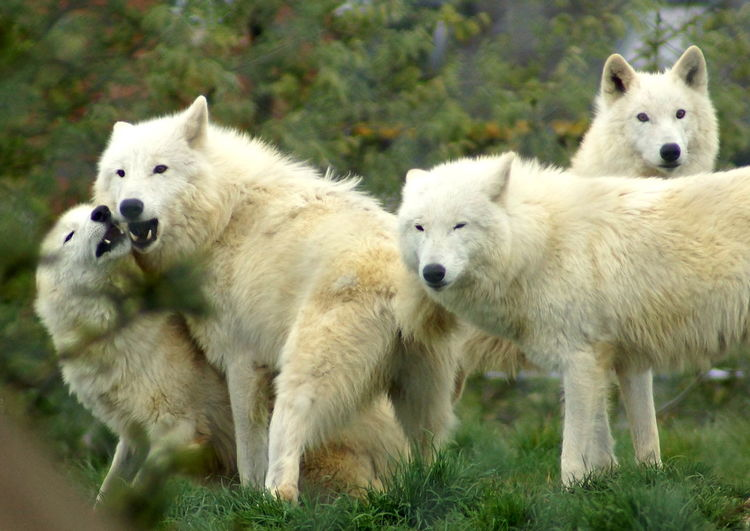 Band of Brothers Animal Themes Animal Wildlife No People Outdoors Togetherness White Wolfpack Wolf Wolves At Play