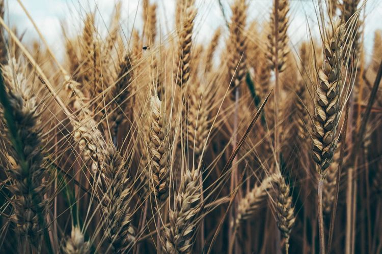 Agriculture Crop  Cereal Plant Growth Rural Scene Farm Plant Wheat Field Landscape Close-up Nature Land No People Beauty In Nature Day Tranquility Sunlight Focus On Foreground Backgrounds Outdoors The Great Outdoors - 2019 EyeEm Awards My Best Photo