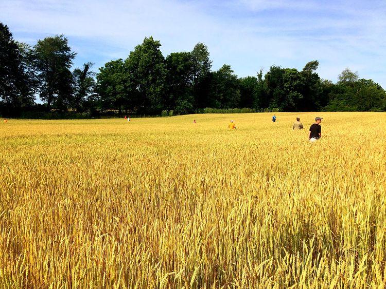 Rouging Golden Harvest Harvest 'Murica 'Merica Missouri life is beautiful