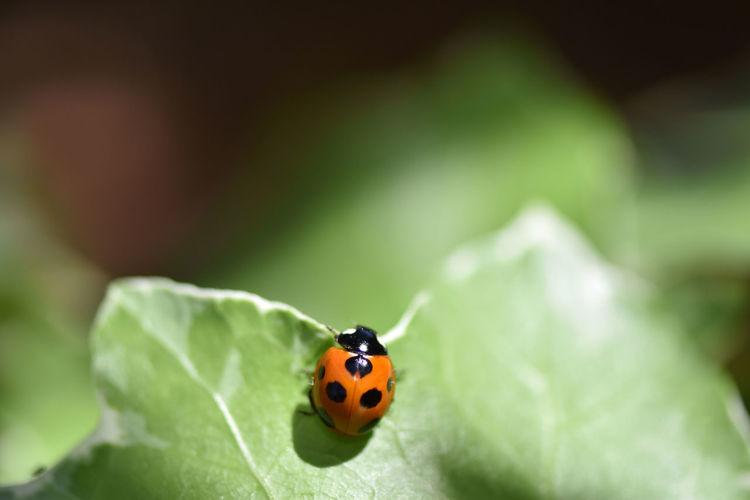 Ladybug Ivy