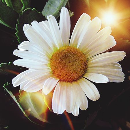 Saying goodbye to two special Americans ~ Aretha Franklin & John McCain 💐 Daisy Flower Inflorescence Flower Head Vulnerability  Beauty In Nature Close-up Nature