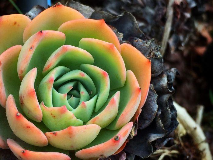 Close-Up Of Succulent Flower Growing In Garden