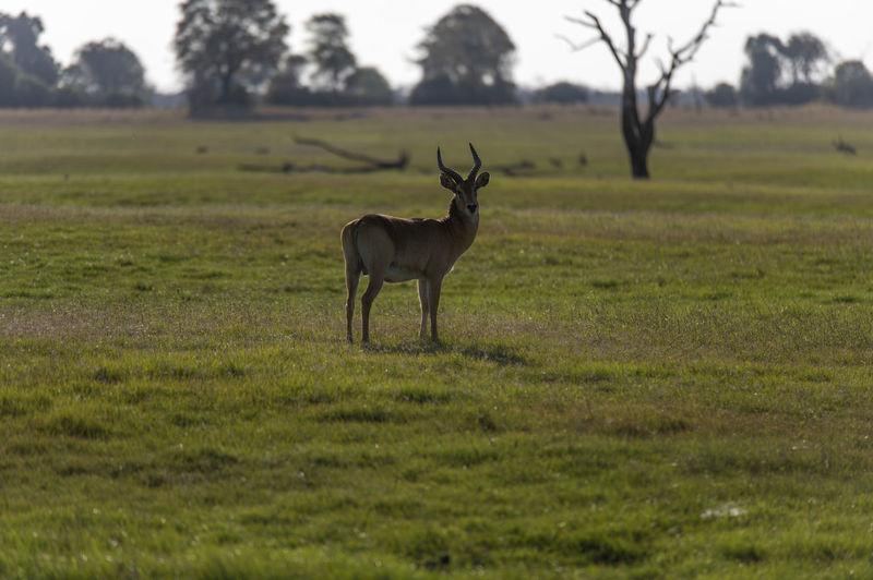 Impala standing in field