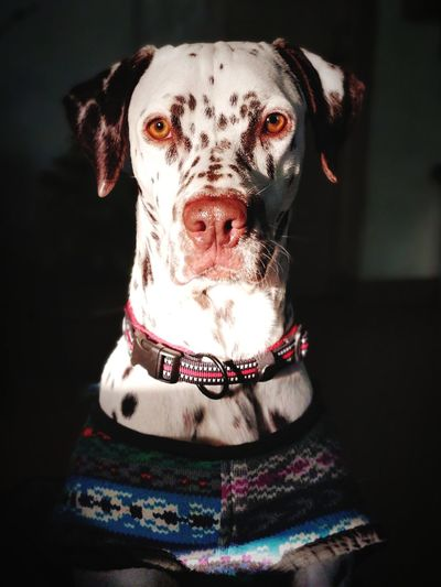 Serious Dalmation EyeEm Selects Pets Portrait Dog Looking At Camera Black Background Pet Collar Protruding Close-up Purebred Dog