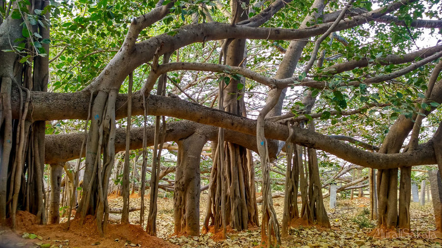Worlds Largest Banyan Tree Anantapur Banyan Tree Beauty In Nature Big Banyan Tree Branch Day Forest Growth Largest Tree In The World Nature No People Outdoors Scenics Sky Thimmamma Marrimanu Tranquility Tree Tree Trunk