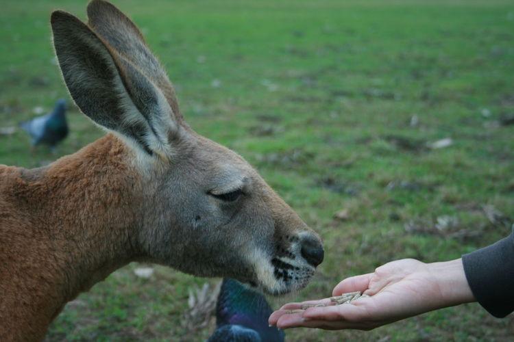 Cropped image of hands feeding kangaroo