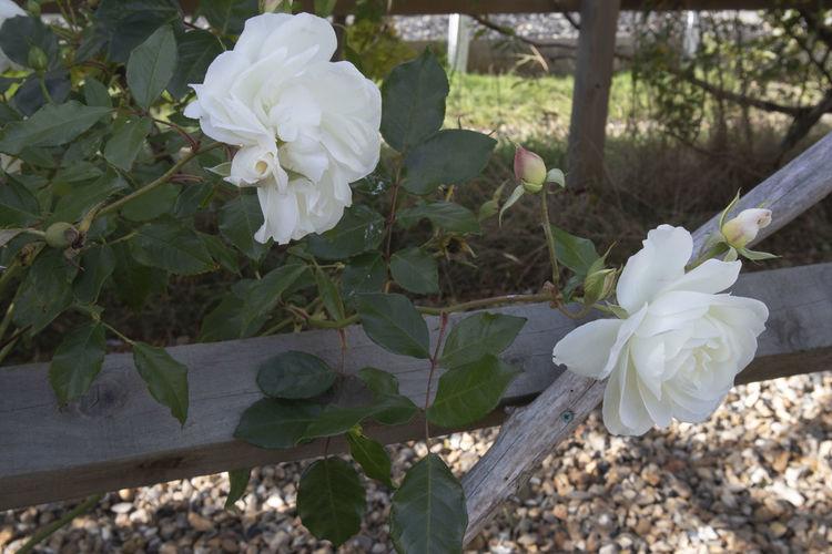 White roses in