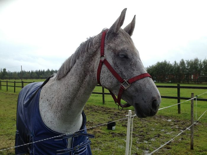 Animal Head  Animal Themes Bridle Day Domestic Animals Field Grass Horse Mammal No People One Animal Outdoors Paddock Sky