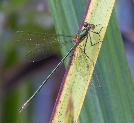 Female emerald