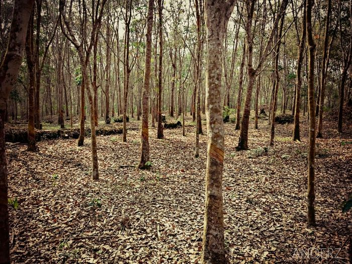 a rubber plantation in my area Rubber Plantation Nderes Karet Ladang Young Getah Latex Bamboo - Plant Tree Trunk Sunlight Bamboo Grove Landscape Woods