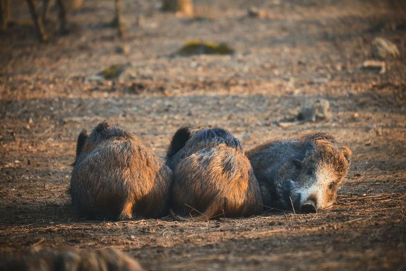 Wild boars resting on field in forest