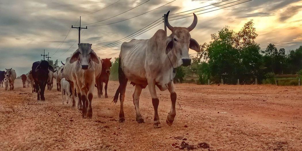 Cows grazing in field against sky